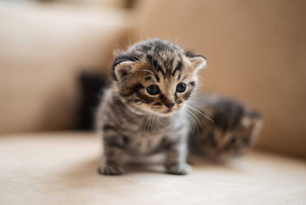 brown tabby kitten on white textile